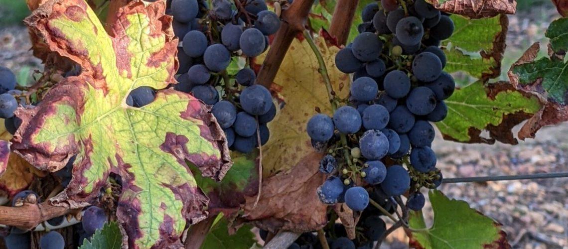 feuille de vigne Touraine